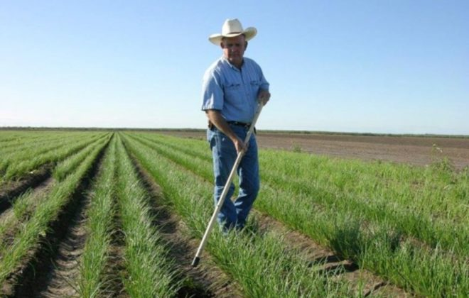 onion harvesting tips- onion field