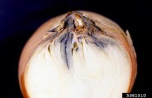 Example of neck rot in onions