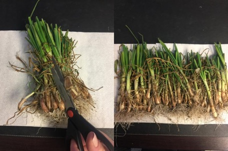 How to store onion plants