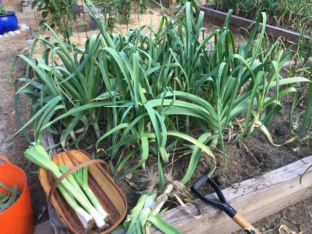 fresh harvested leeks