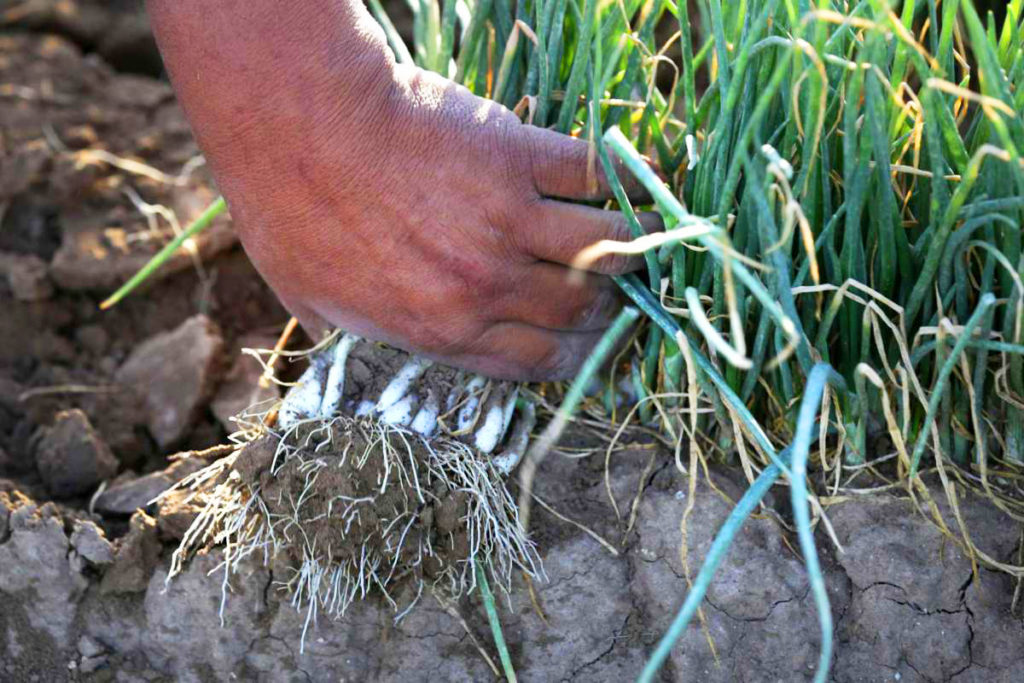 onion harvesting and curing tips