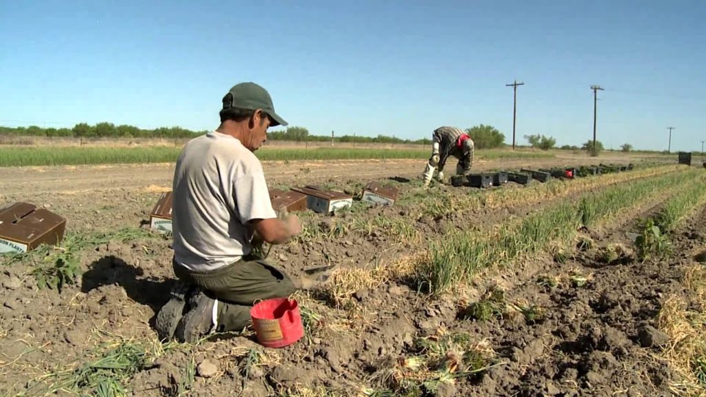 onion harvesting