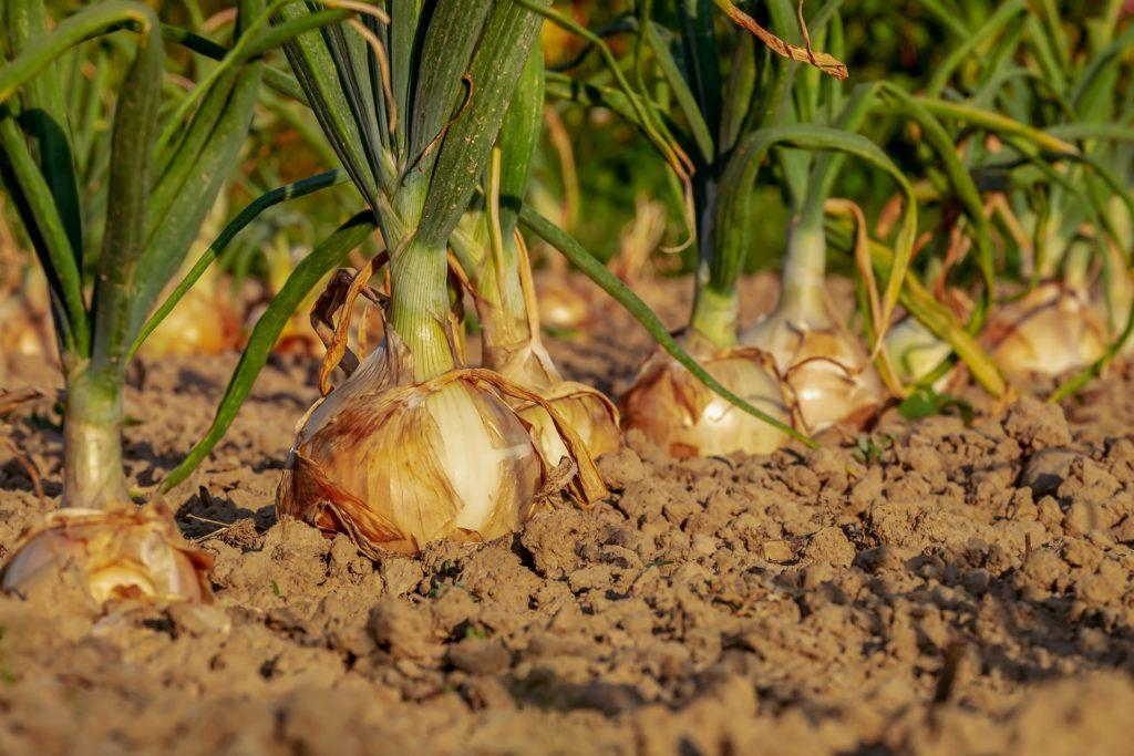 onion-3540502_1920