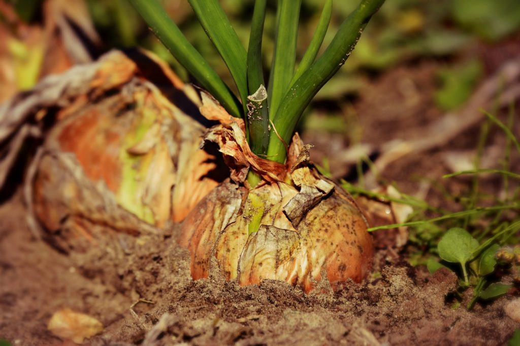 preventing onion diseases