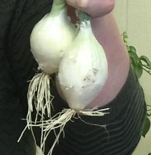 onion transplants after winter