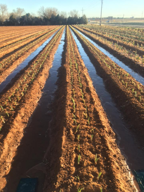 onion watering after winter
