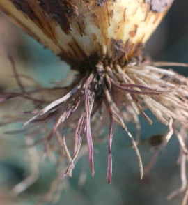 pink root on onion plant