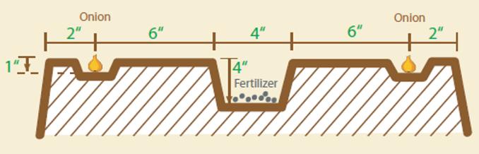 onion planting soil diagram