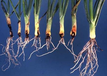 onion-maggot-damage